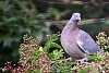 -pigeon.jpg