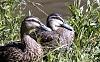 -ducks.jpg