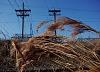 -wheat-grass-poles.jpg