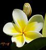 Frangipani Blossom and Buds