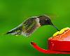 Rubythroated hummingbirds have returned!