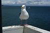 Gutsy Gull