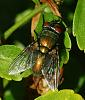 Greenbottle Blow Fly