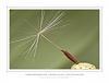 Achene of a Sand Dandelion