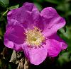 rosa rugosa.. the beach rose