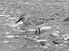 solitary sanderling..