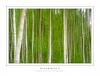 Betula in Abstracto