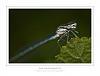 Blue tailed damselfly (Ischnura elegans)
