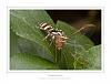 Ephemeroptera....