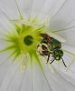 metallic green sweat bee.....