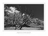 B&W Study of a dead Oak Tree