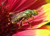 green sweat bee