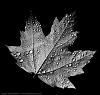 Droplets on Maple Leaf