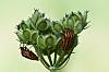 Pyama Bug