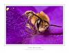 Purple bee in coma