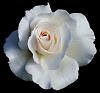 White Rose with a Tinge