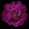 Sparkley Rose