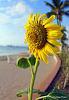 Moods of a Sunflower