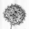 Dandelion Head Reversed Black & White