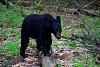 Black Bear, Cades Cove, TN