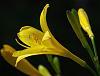 Kesämökin lilja (Summer cottage lily)