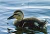 Duckling @ ISO 1600