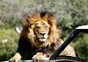 Lion on the hood of a Land Rover