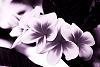 Surreal Frangipani Flowers