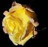 Yellow Rose in Winter