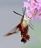 hummingbird moth....or how can i make dave m dizzy...