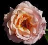 A Pastel Pink Rose