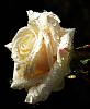 A Drenched White Rose