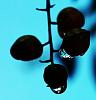 Berries in Silhouette