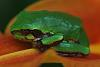 Green frogs hunting on Day Lillies?