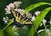 Swallowtails... and a few more hummingbirds with DA*300