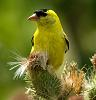 American Goldfinch (4 images)