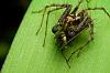 Lynx spider having lunch