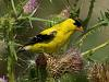 American Goldfinch (3 images)
