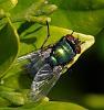 A Resting Greenie