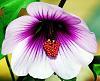 Purple and White Hibiscus