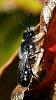 Black Native Bee