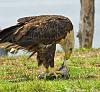 Eagle @ Feed