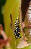 Black and Yellow Paper Wasp