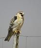 Black-shouldered Kite, juv