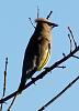 Cedar Waxwing (2 images)
