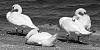 swans' siesta....