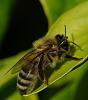 Bee Preening itself