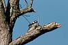 "Why do they call them ""Downy"" Woodpeckers?"