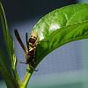 Brown and Yellow Wasp