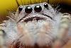 Phidippus adumbratus (jumping spider)